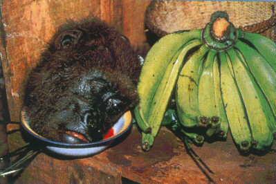 viande de brousse singe afrique