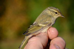 Le petit pouillot qui fait froncer les sourcils aux ornithologues deSuisse