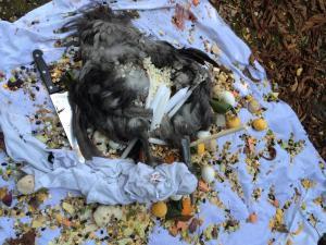 oiseaux décapités vaudou couteau